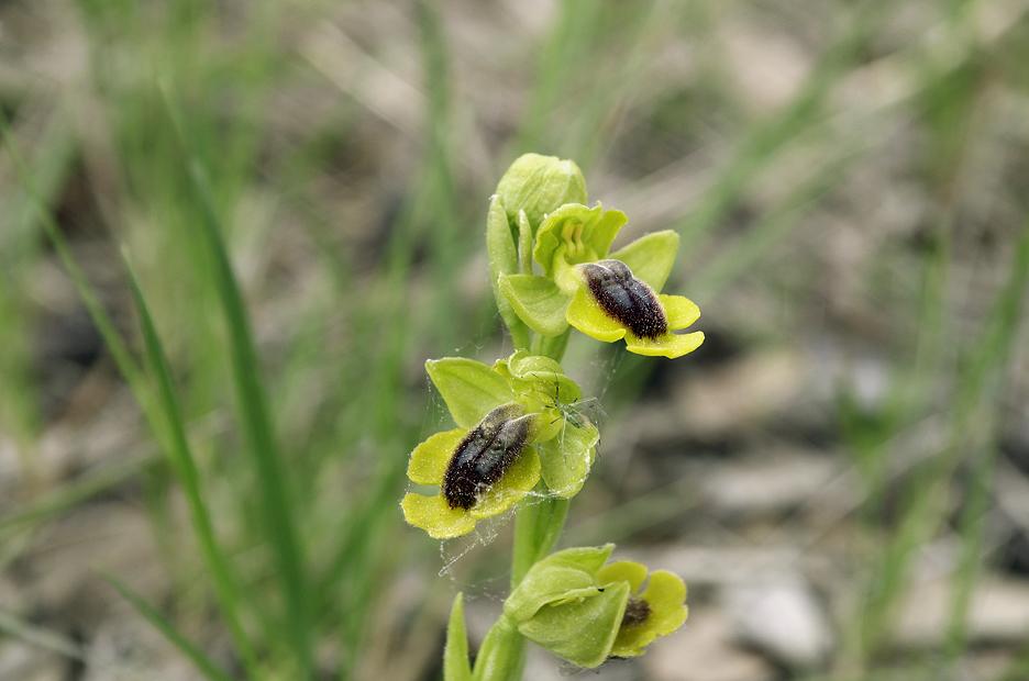 Orchidées : famille des Ophrys